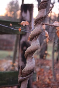 Twisted vine and tree trunk.